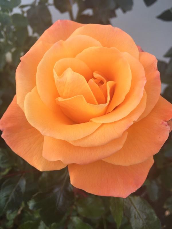 Rose 2016-03-06